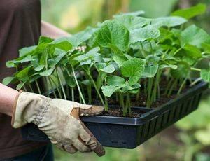 Как сажать петунию на рассаду в домашних условиях: пошаговая инструкция по правильному посеву