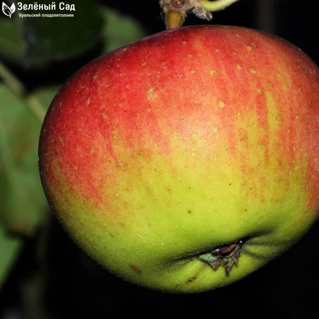 Лучшие сорта яблонь для башкирии - сад и огород