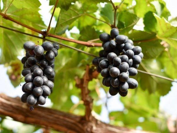 Виноград гала: описание сорта с фото и уход за ним, видео