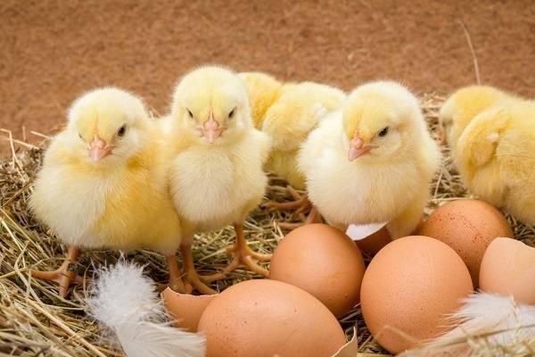 Сколько курица высиживает яйцо до цыпленка: уход за наседкой