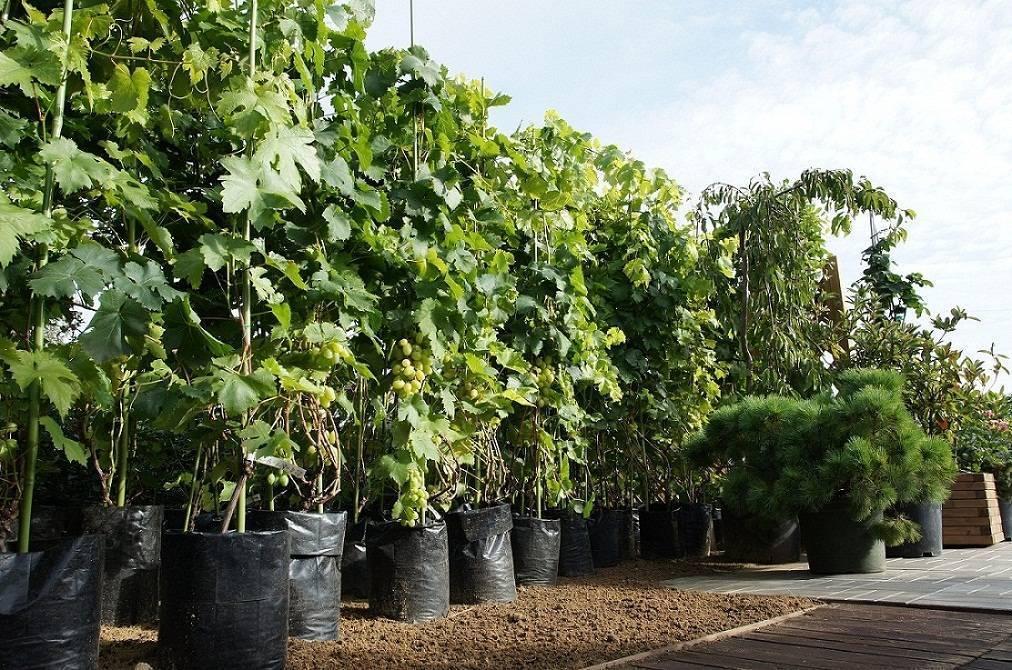 Виноград в сибири для начинающих: посадка и уход, выращивание, формирование куста