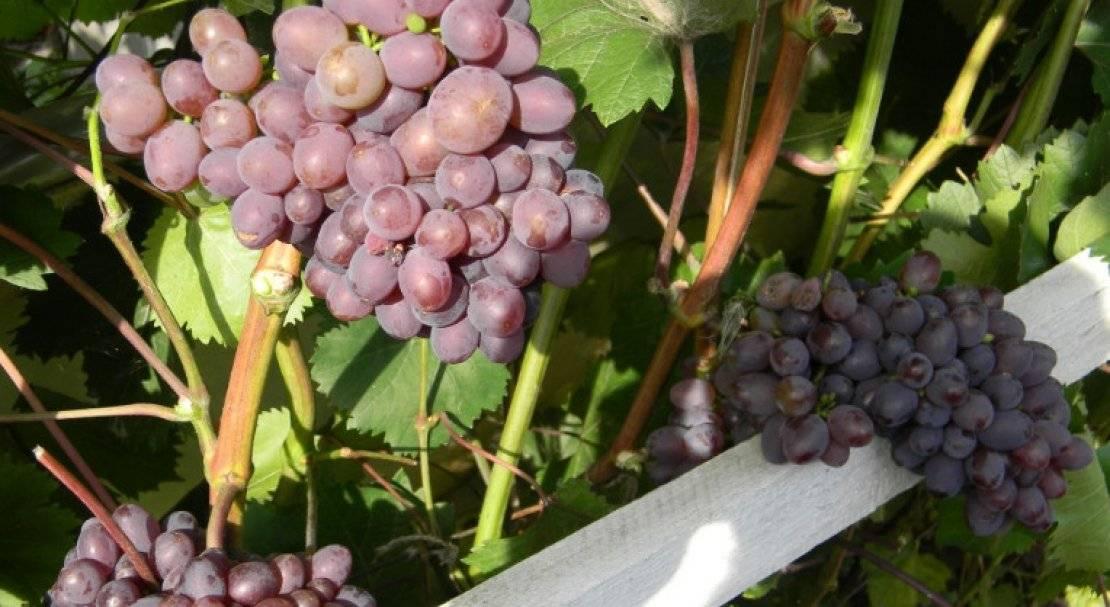 Сорт винограда кишмиш запорожский: описание, фото, особенности выращивания