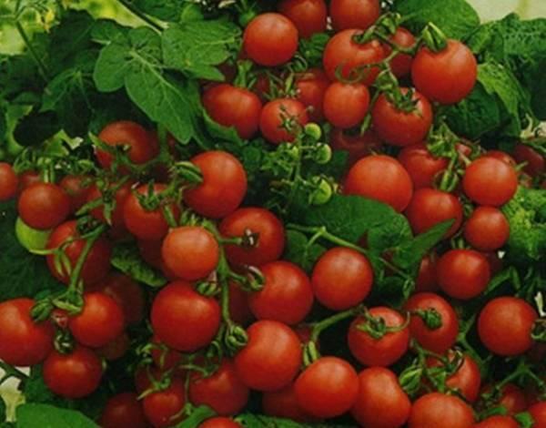 Томат непас: отзывы о сортах непасынкующихся помидоров, фото кустов и урожая, особенности выращивания и советы от опытных фермеров