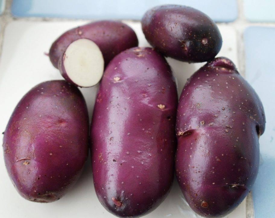 Фиолетовая картошка: сорта, посадка и уход