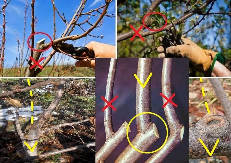 Обрезка сливы весной: когда и как правильно обрезать дерево, инструкция для начинающих в картинках пошагово