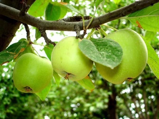 Размножение яблони воздушными отводками. советы о том, как размножить плодовое дерево таким способом