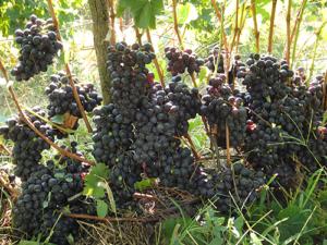 Виноград шахтер: описание сорта, фото, болезни и уход selo.guru — интернет портал о сельском хозяйстве