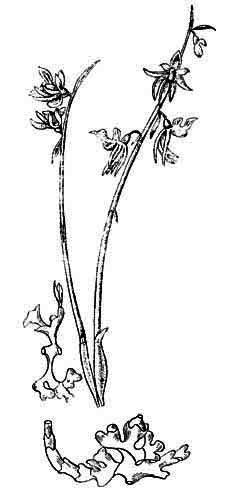 Нолана: фото цветка, выращивание из семян, посадка, уход в открытом грунте