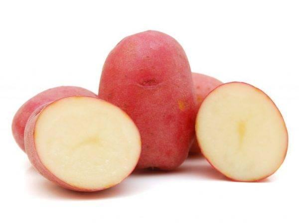 Сорт картофеля беллароза: описание, посадка и уход русский фермер