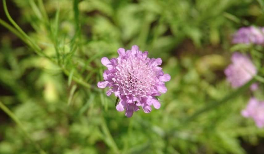 Скабиоза - выращивание из семян. нежная скабиоза. выращивание из семян