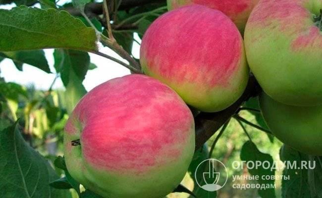 Описание сорта яблони дарена: фото яблок, важные характеристики, урожайность с дерева
