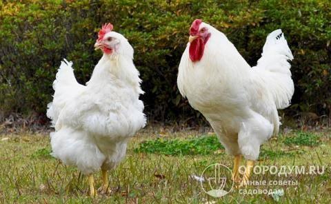 Плимутрок курица