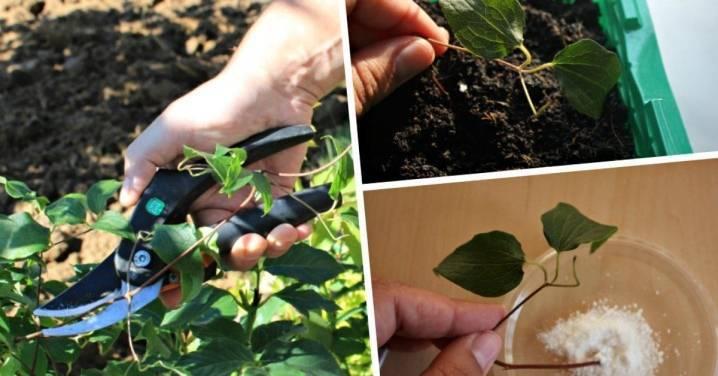 Можно ли размножать клематис черенком: правила и рекомендации по размножению цветка