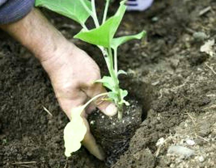 Выращивание баклажан и уход за рассадой после посадки в открытый грунт: особенности подготовки почвы