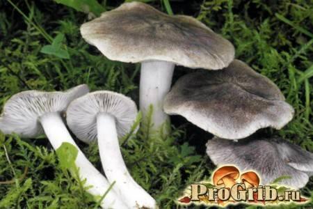 Гриб подтопольник - описание как выглядит, где растет и как готовить. фото.