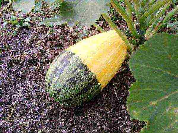 Как отличить рассаду кабачков от рассады тыквы
