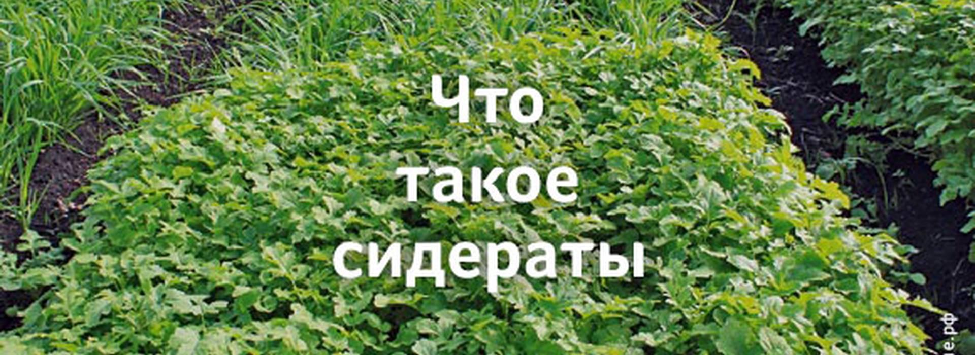 Сидераты (для огорода) 4 важных правила выбора сидератов