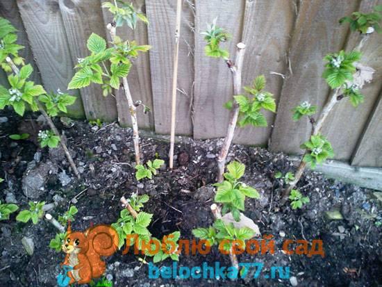Посадка малины осенью - когда и как посадить растение правильно