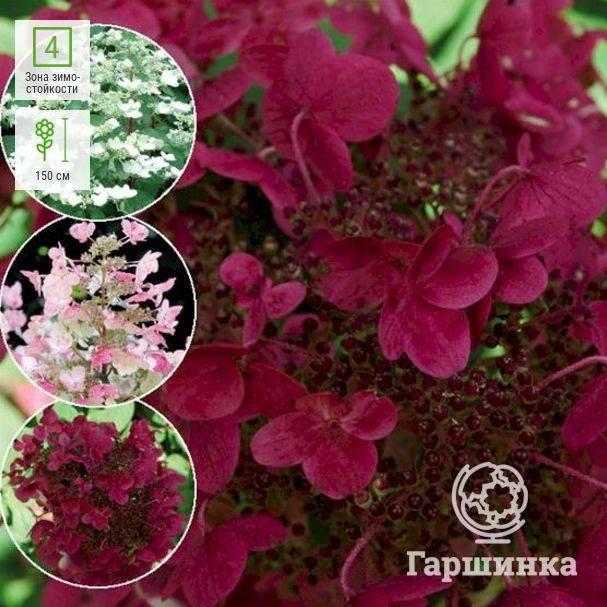Гортензия метельчатая: посадка и уход, размножение и выращивание
