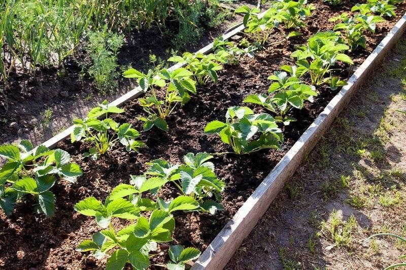 Дрожжи как удобрение для растений: как приготовить