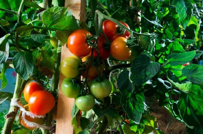 Чем подкормить помидоры в период цветения и плодоношения