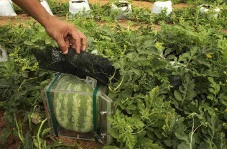 Как выращивать арбузы в теплице из поликарбоната, посадка и уход, схема формирования