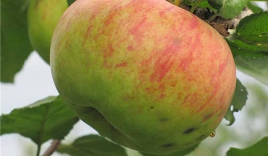 Яблоня - штрифель: описание сорта, фото, отзывы