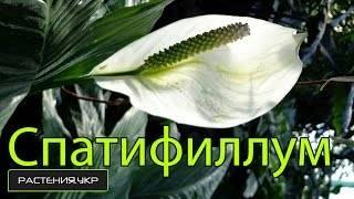 """""""женское счастье"""" и """"мужское"""" рядом: можно ли выращивать антуриум и спатифиллум вместе?"""