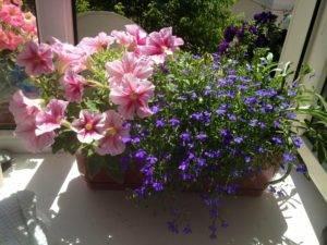 Петуния не цветет - что делать, если она перестала радовать глаз и почему растение плохо себя чувствует на балконе или в других условиях, какой требуется уход?дача эксперт