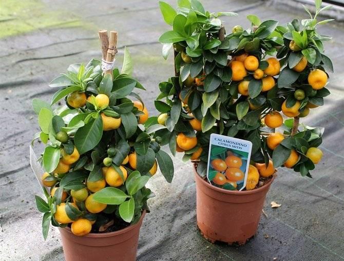 Апельсиновое дерево: выращивание и уход в домашних условиях