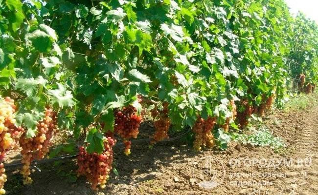 Виноград велес — розовый кишмиш с огромными кистями весом до 3,6 кг