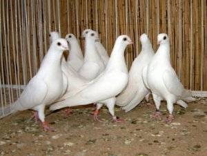 Высоколётные голуби: какие виды бывают, характеристика пород