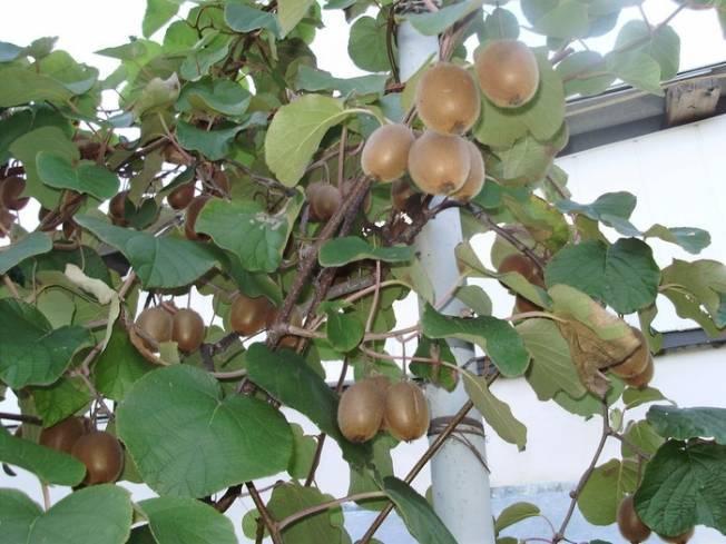Как вырастить киви? рекомендации, как получить плоды из черенков и семян на ydoo.info