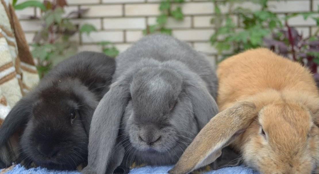 Порода кроликов французский баран: характеристика, содержание, разведение, цена, отзывы, фото