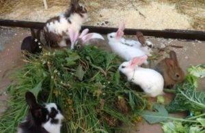 Можно ли давать кролику лопух: как правильно кормить, дозировка в рационе