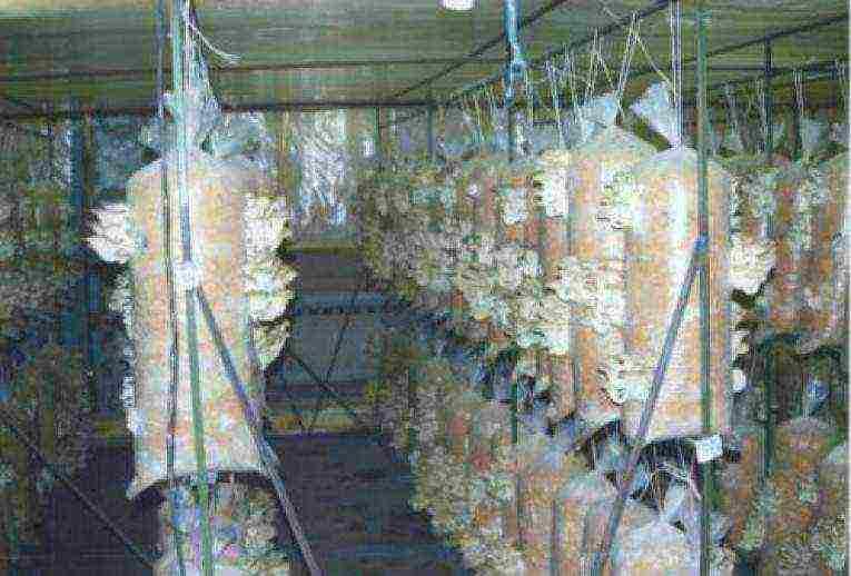 Домашние вешенки: советы для начинающих по выращиванию. плюсы и минусы выращивания грибов в домашних условиях (110 фото)