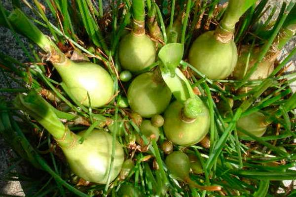 ✅ китайский лук выращивание в домашних условиях - питомник46.рф