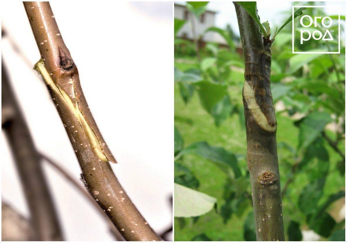 Топ-5 способов: прививка плодовых деревьев