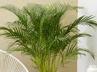 Комнатные пальмы и их виды, которые идеально подходят для дома