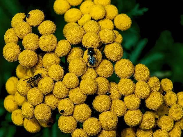 Сантолина: виды, фото, посадка и уход в открытом грунте