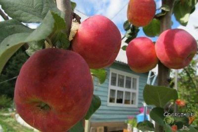 Как хранить яблоки зимой в погребе, в земле, в домашних условиях