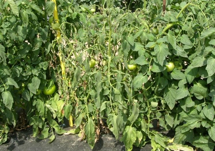 Как избавиться от болезней томатов раз и навсегда — agroxxi