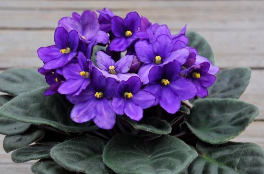 Как выращивать фиалку из листочка в домашних условиях и через сколько он зацветет: пошаговые фото и видео, как правильно и быстро прорастить комнатный цветок