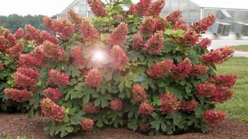 Гортензия «вимс ред» (35 фото): описание сорта метельчатой гортензии wim's red и зимостойкость, посадка и уход в открытом грунте, отзывы
