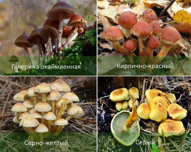 Как выглядят опята: фото съедобных и ложных грибов