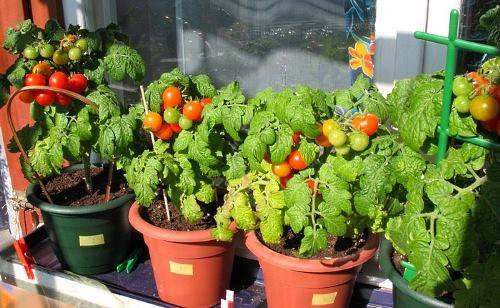 ᐉ как вырастить помидоры черри в домашних условиях, на подоконнике зимой, а также на балконе? преимущества сорта и уход - orensad198.ru