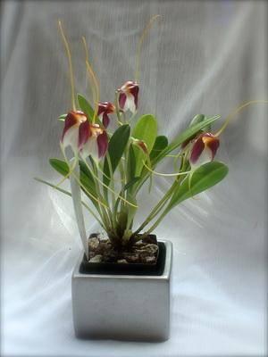 Орхидеи масдеваллия, дракула и уход за ними