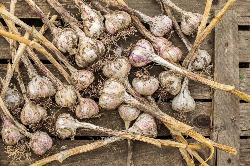 Выращивание чеснока как бизнес – особенности и нюансы реализации