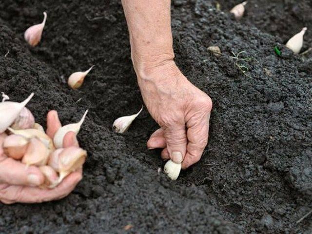 Посадка чеснока на зиму и выращивание в Беларуси