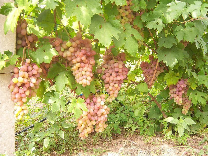 Агротехника винограда румба — преимущества и недостатки